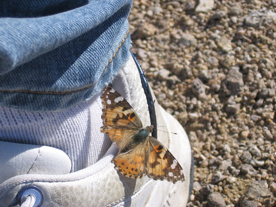 Butterfly, with somewhat worn left wing, which perched on Sam's shoe when we got back to his vehicle.