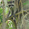 Racoon at 309RR 07-06-11