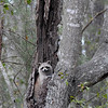 Rocky Racoon in dead tree in River Ridge urban neighborhood near marsh - not in real forest