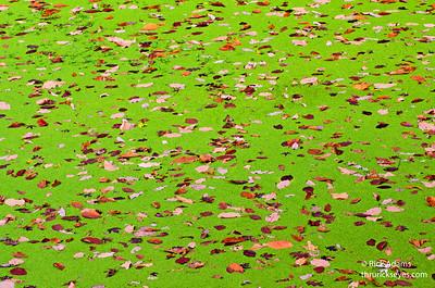 Pond Algae with Leaves