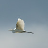 Great Egret flying over the Club.