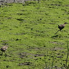 The King Rail getting chased by the Clapper Rail