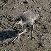 """ Hybrid"" Clapper/King Rail Chick?"