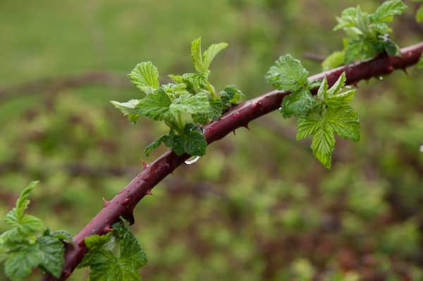 3/2012:  Raindrops on wild raspberry bush, at home