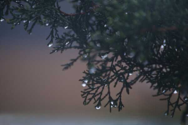 3/2012:  Raindrops on evergreen, at home