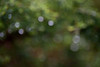 4/2012:  Soft-focus raindrops on shrubbery, at home