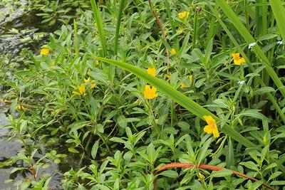 Ludwigia grandiflora  (Waterteunisbloem)