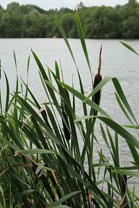 Typha latifolia  (Grote Lisdodde)