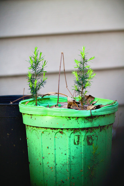 Potted Evergreen seedling