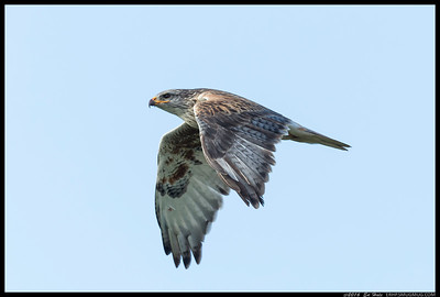 I had stopped to catch the Western Meadowlark on the rocks when this Ferruginous Hawk flew towards and then by me.