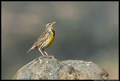 Western Meadowlark in-between sets.