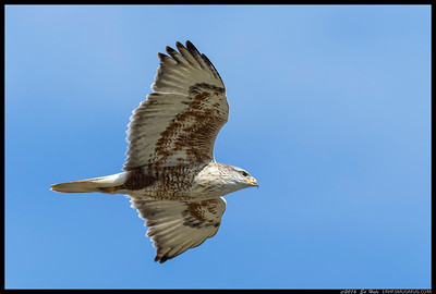A Ferruginous Hawk flying by me.