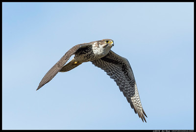 Prairie Falcon flying by after devouring a snack.