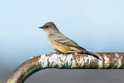 Say's Phoebe on a well used perch.
