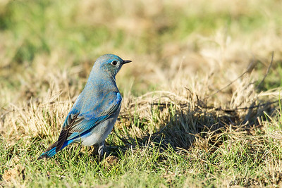 Mountain Bluebird.  A different blue from the more typical Western Bluebirds.