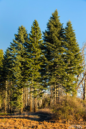 A small stand of cedar trees at the top of Palomar Mountain.