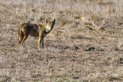 Coyote wasn't quite sure what to do.  The camera wasn't going bang but then there a human standing behind it...