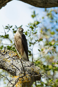 I had just placed the lens on the tripod and tightened the Wimberley mount when this Cooper's Hawk flew in about two feet above my head and landed on a branch behind me.