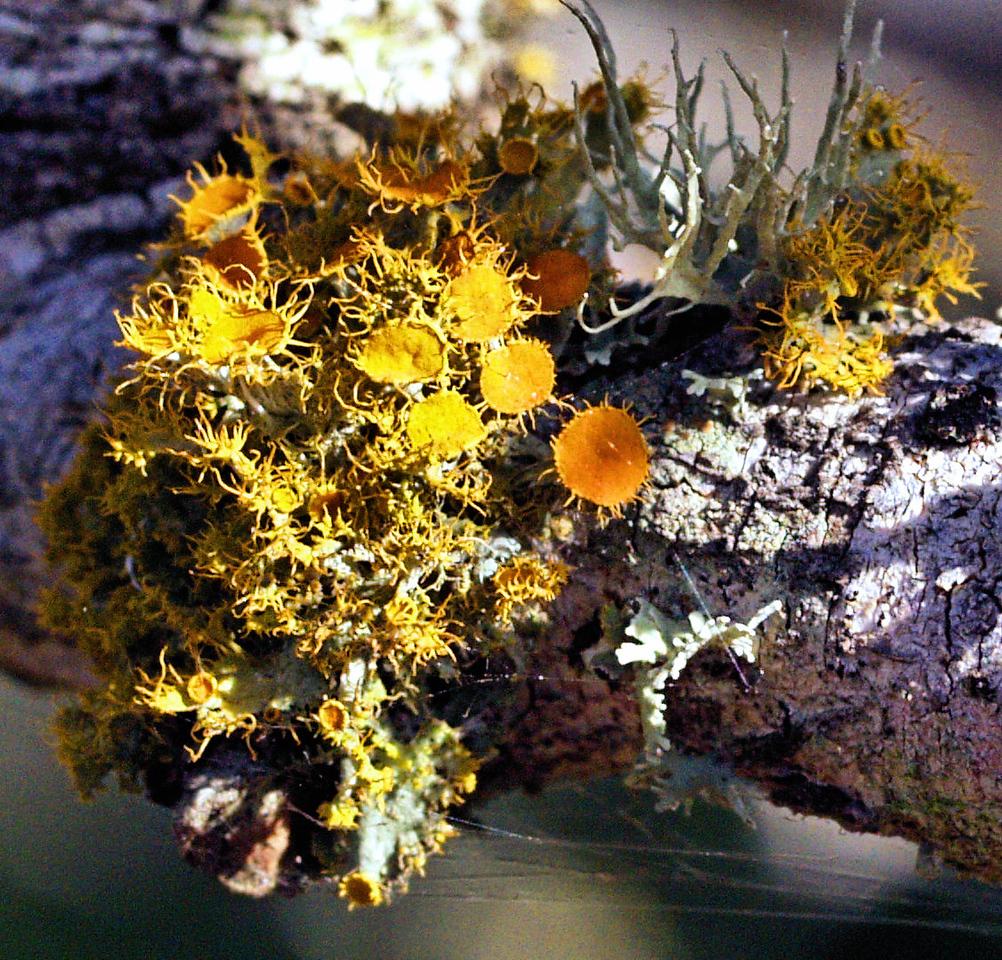 OLYMPUS DIGITAL CAMERA--Colorful lichens on a branch.