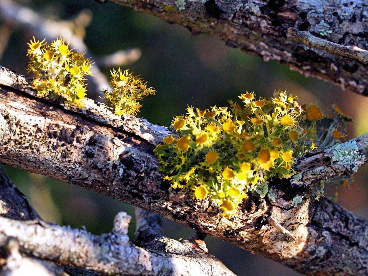 OLYMPUS DIGITAL CAMERA--Colorful lichens on a mesquite branch.