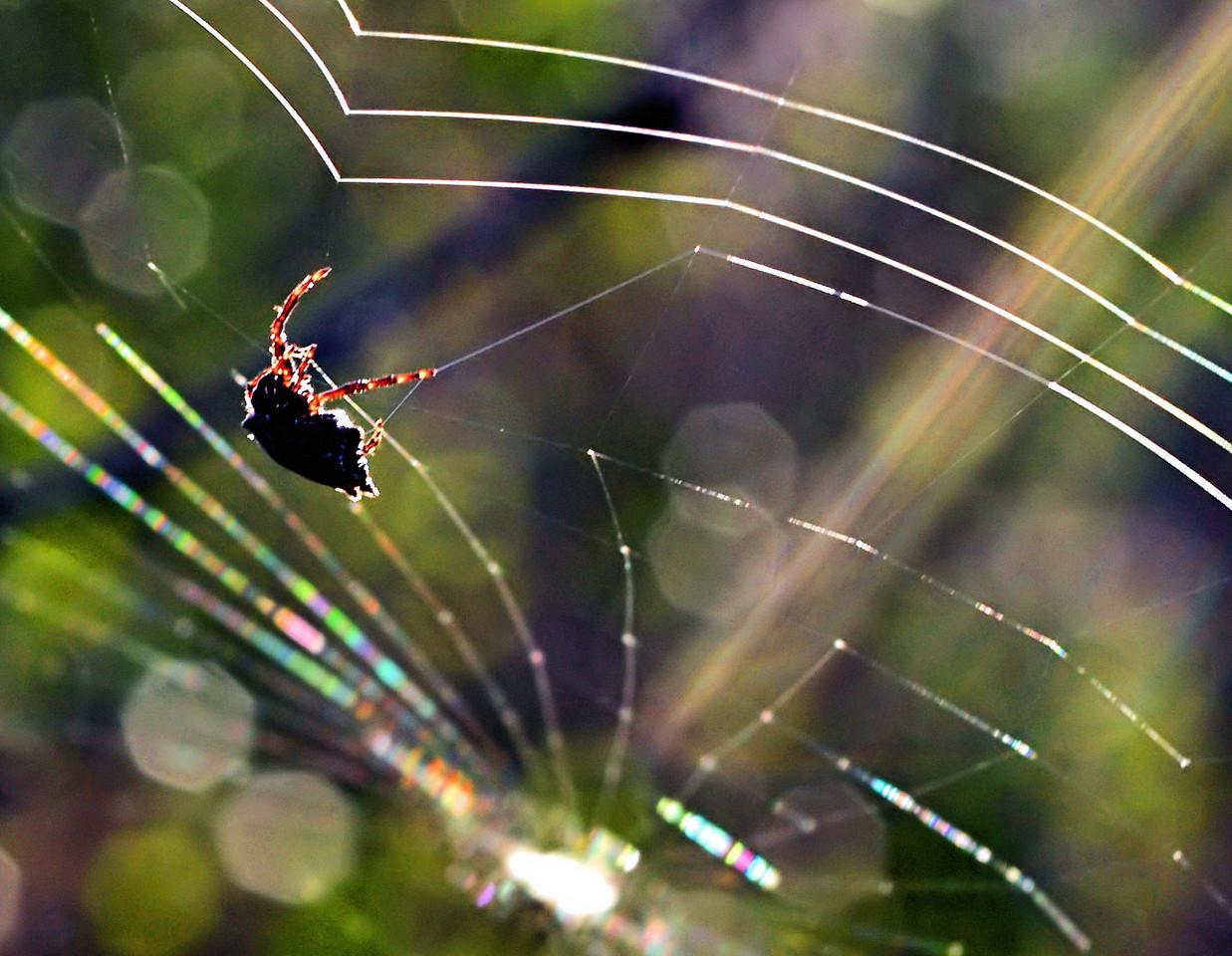 OLYMPUS DIGITAL CAMERA--Great shot of spider repairing and crosslinking the web.