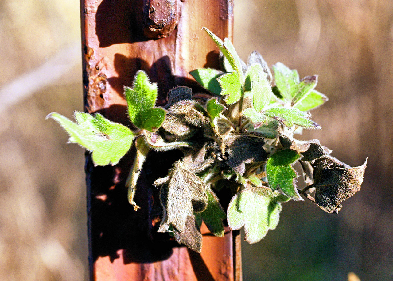 OLYMPUS DIGITAL CAMERA--Fuzzy leafed plant growing on a fence post.