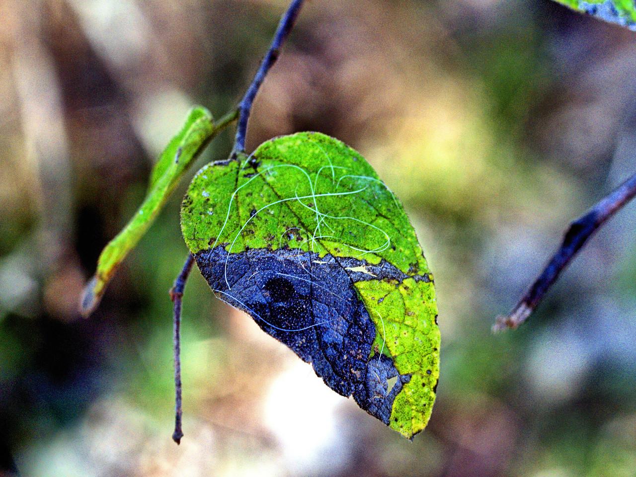 OLYMPUS DIGITAL CAMERA--Leaf that has almost fallen.
