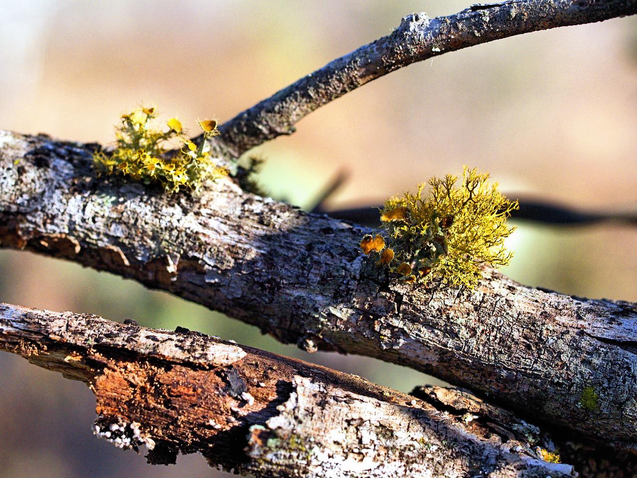 OLYMPUS DIGITAL CAMERA--Lichen growths on a mesquite branch.
