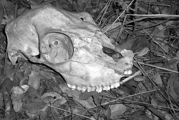 skull - Old ranch outside of 1604, between O'Conner and Judson (2/06)