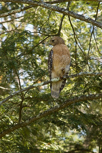 Red-Shouldered Hawk.  Montague NJ May 2nd, 2013