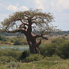 A baobab tree, called a mowana in setwsana.