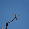Eurpean bee-eater.