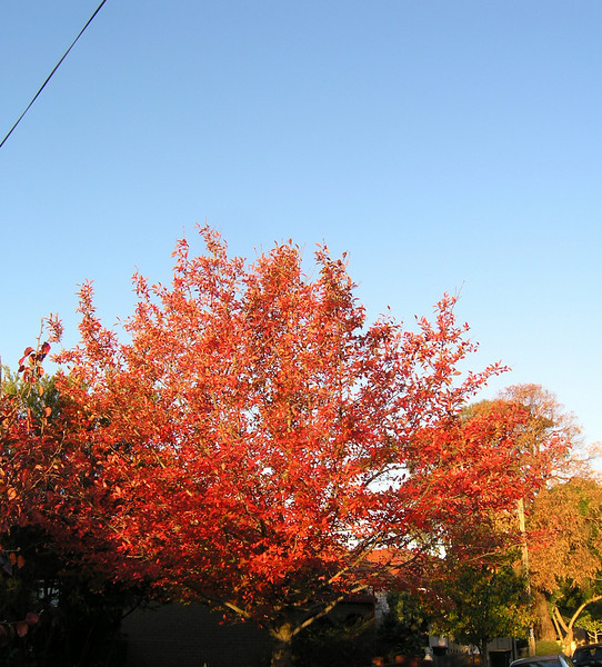 Tree changing colours outside our house