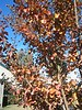 Leaves on walk to school while. University of Redlands fall 2003