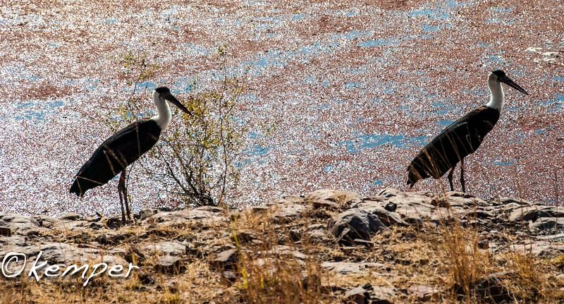 WoolyNeck Storks