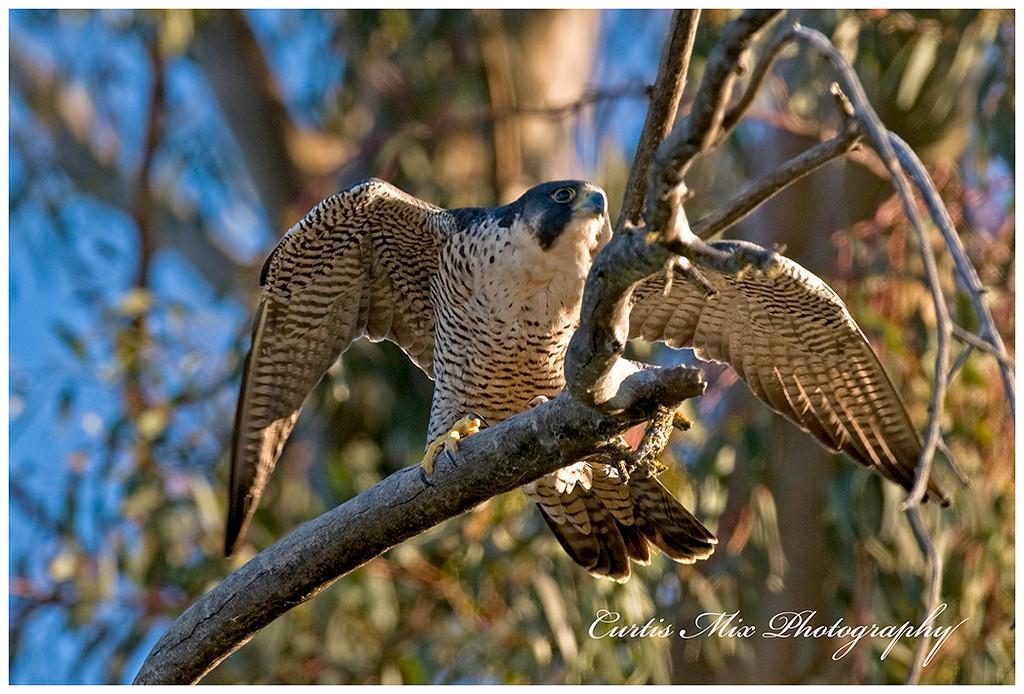A Peregrine Falcon takes to flight.