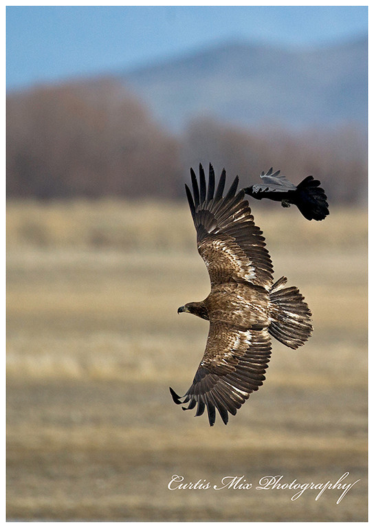 A Golden Eagle is harassed by a Crow.