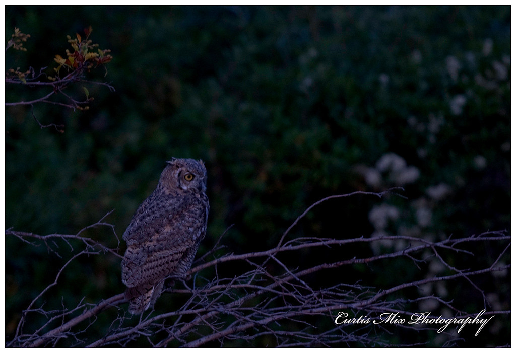Great Horned Owl right at dark.