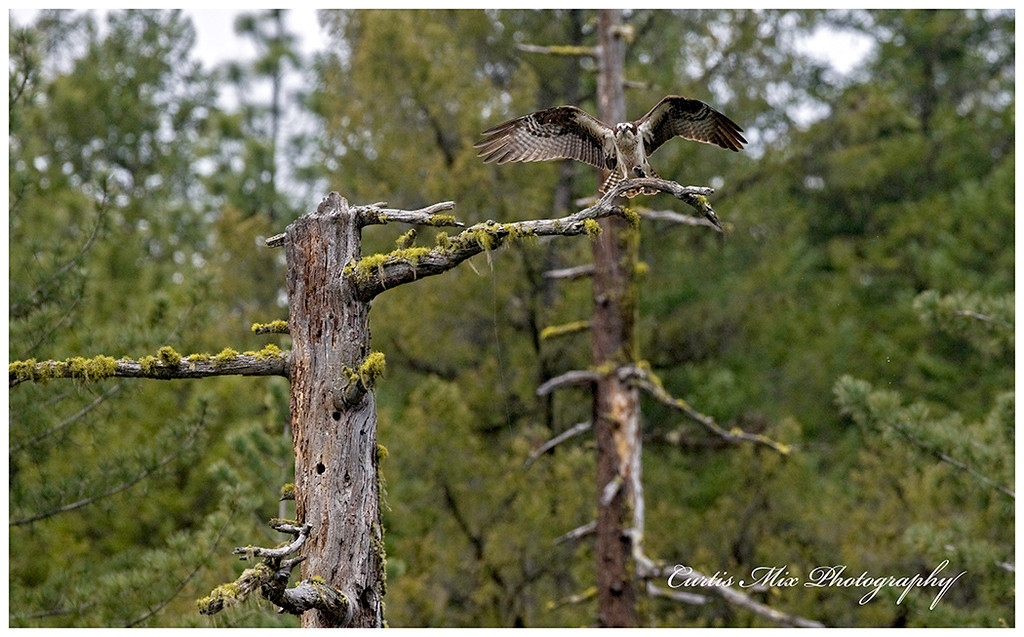 Many beautiful places for the Ospreys to land.