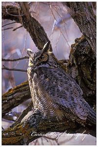 Great Horned Owl.