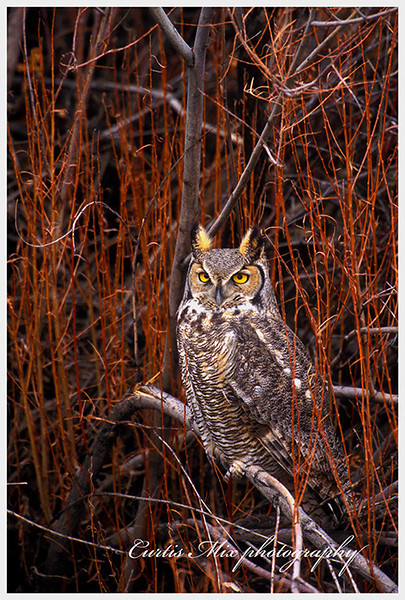 Night stalker, Great Horned Owl.
