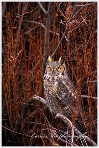 Night stalker, Great Horned Owl.