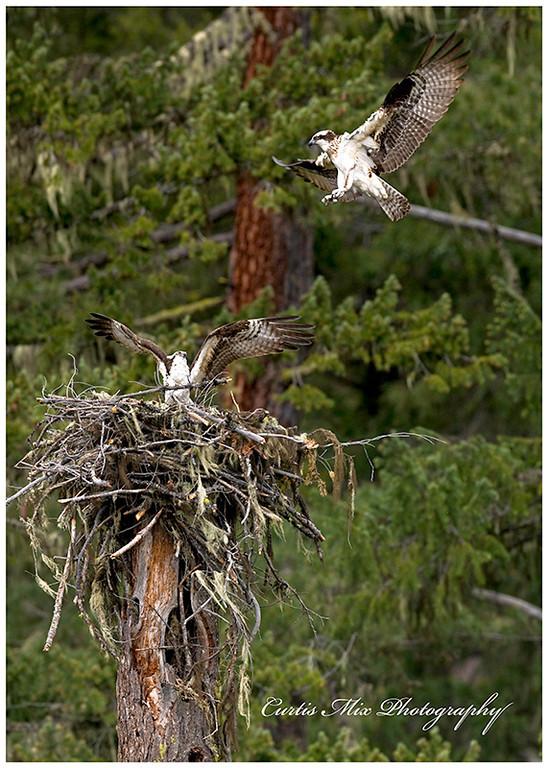 An intruder makes a pass by the nest.