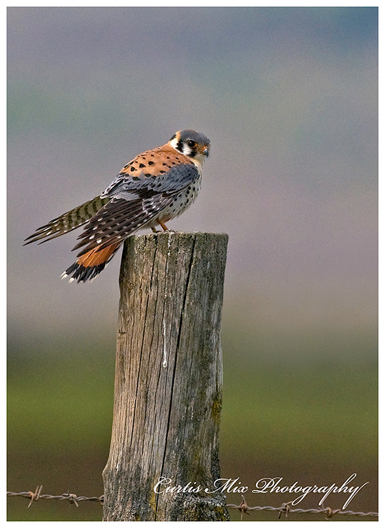 Male Kestrel.