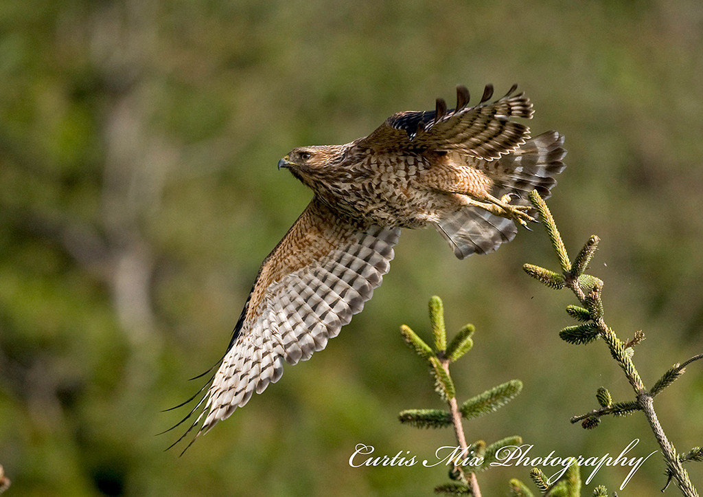 A Red-tailed Hawk takes to flight.