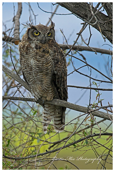 Great-horned Owl, molting.