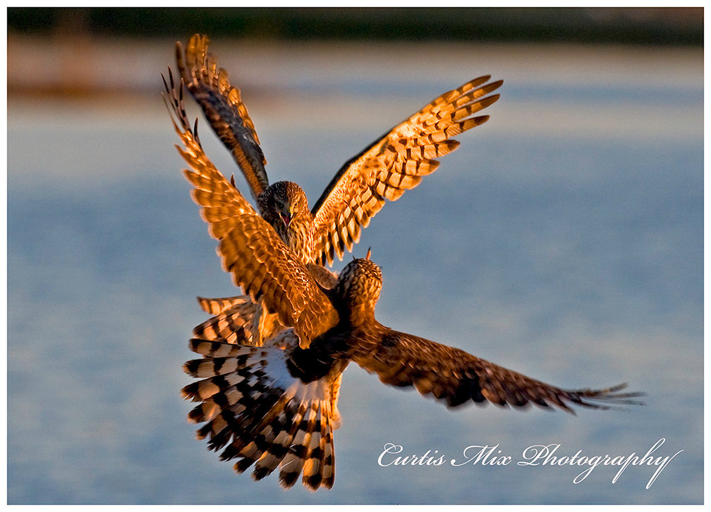 Two Northern Harriers clash over the California wet lands.
