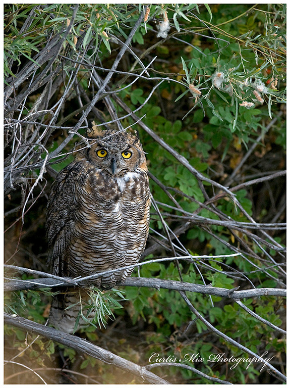 Great Horned Owl in the morning.
