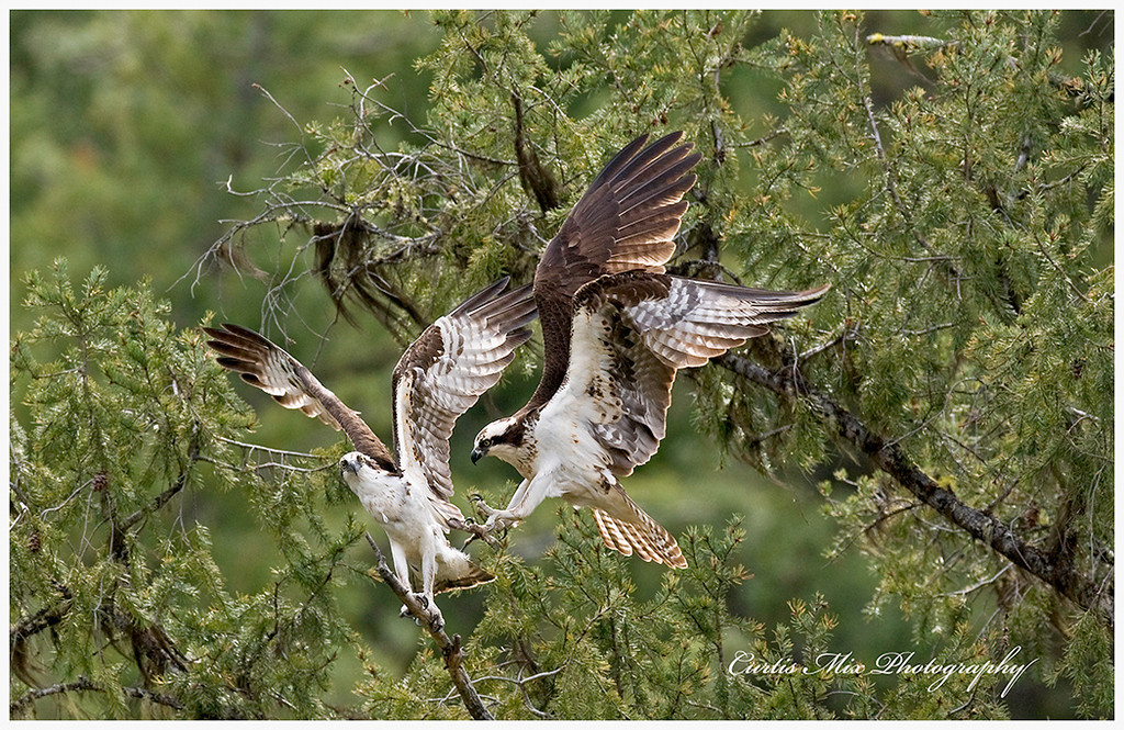 Go find you're own spot. A pair of Ospreys having a squabble.