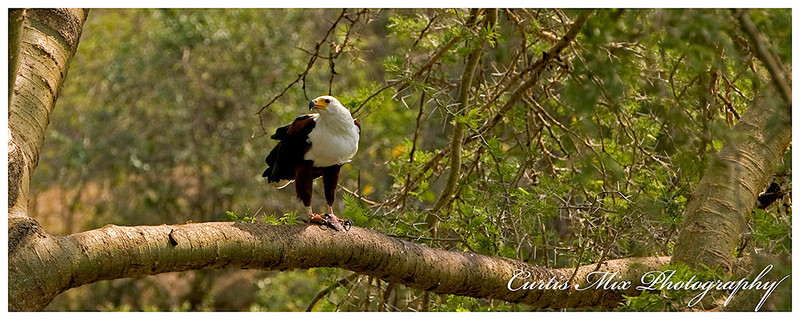 African Fish Eagle eating a fish.